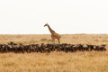 Giraffe and a herd of wildebeest in dry African savanna Royalty Free Stock Photo