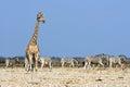 A giraffe and a herd of zebras