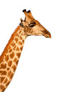Giraffe isolated on white background Stock Image