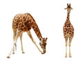 Giraffe isolated on white background clipping path included Stock Photography
