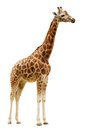 Giraffe isolated on white background close up Royalty Free Stock Photo
