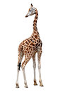 Giraffe isolated on white backgrouns Stock Photo