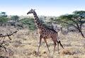 Giraffe, Kenya, Africa Royalty Free Stock Photo