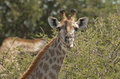 Giraffe in Kruger National Park Royalty Free Stock Photos