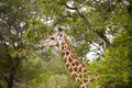 Giraffe in kruger national park Stock Photo