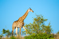 Giraffe kruger national park south africa with blue sky background Stock Image