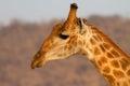 Giraffe kruger park closup portrait national with nice bokeh Stock Photos