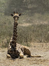 Giraffe Laying on the Ground Stock Photo