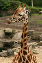 Giraffe licking its lips Royalty Free Stock Images