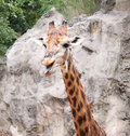 Giraffe the long neck animal in the smiling face Royalty Free Stock Photos