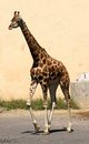 Giraffe long necked while walking on a sunny day Royalty Free Stock Photography