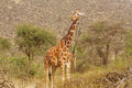 Giraffe looking at passers by Royalty Free Stock Images