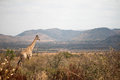Giraffe on the lookout Royalty Free Stock Photo