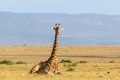 Giraffe lying down on the savanna Royalty Free Stock Photo