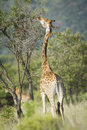 Giraffe in the mabalingwe nature reserve in southern africa with feeding from acacia tree Royalty Free Stock Images