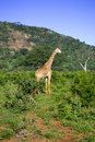 Giraffe male in the wild. Africa. Stock Photos