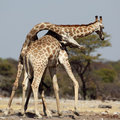 Giraffe males fighting Royalty Free Stock Image