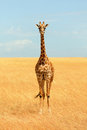 Giraffe in Masai Mara Royalty Free Stock Photo