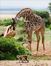 Giraffe and monkeys. Stock Photos