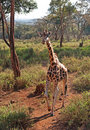 Giraffe in Nairobi Royalty Free Stock Photo
