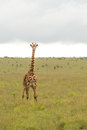 A giraffe at the Nairobi National Park Royalty Free Stock Images