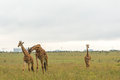 A giraffe at the Nairobi National Park Stock Photo