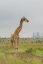 A giraffe at the Nairobi National Park Stock Photography