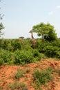 Giraffe in the national park masai mara Stock Photo