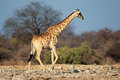 Giraffe in natural habitat Royalty Free Stock Photo
