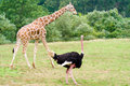 Giraffe and Ostridge Royalty Free Stock Image
