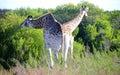 Giraffe pair eating Royalty Free Stock Photo