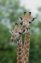 Giraffe Pair in Kruger Park Royalty Free Stock Photo