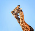Giraffe Pair Portrait Royalty Free Stock Photo