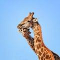 Giraffe Pair Portrait Royalty Free Stock Photo