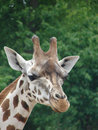Giraffe photo of at chester zoo Stock Photography