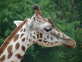 Giraffe photo of at chester zoo Royalty Free Stock Photography