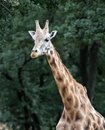Giraffe portrait of a camelopardalis against green leaves background Royalty Free Stock Photos