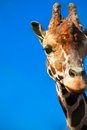 Giraffe portrait of cute curious over blue sky Stock Photo
