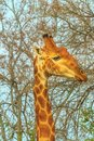 Giraffe portrait eating Royalty Free Stock Photo