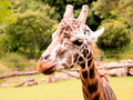 Giraffe portrait of a on the farm Stock Photography