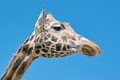 Giraffe portrait of a giraffa camelopardalis giraffidae Royalty Free Stock Photos