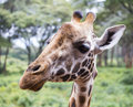 Giraffe portrait a of a in nairobi national park in kenya africa Stock Photography