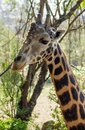 Giraffe portrait taken on safari in Africa Royalty Free Stock Photo