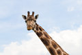 Giraffe portrait wild zoo. Close up shot. Royalty Free Stock Photo