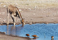 Giraffe potable Photographie stock libre de droits
