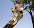 Giraffe profile looking down Royalty Free Stock Photo
