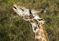 Giraffe profile a in sticking out his tongue Royalty Free Stock Images
