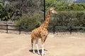Giraffe relaxing in the zoo Stock Photo