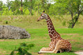 Giraffe Resting Stock Photography