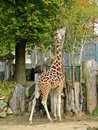 Giraffe at Riga zoological garden Royalty Free Stock Images